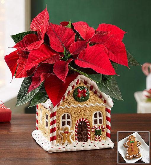 Gingerbread House Poinsettia Plant
