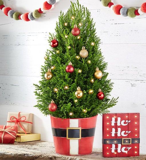 Santa's Surprise Cypress Tree