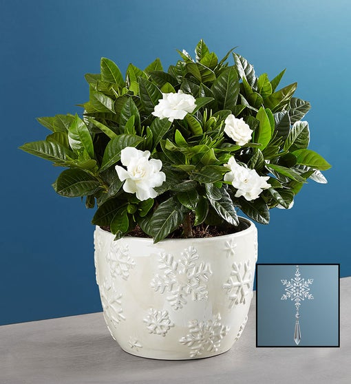 Winter White Elegant Gardenia Plant