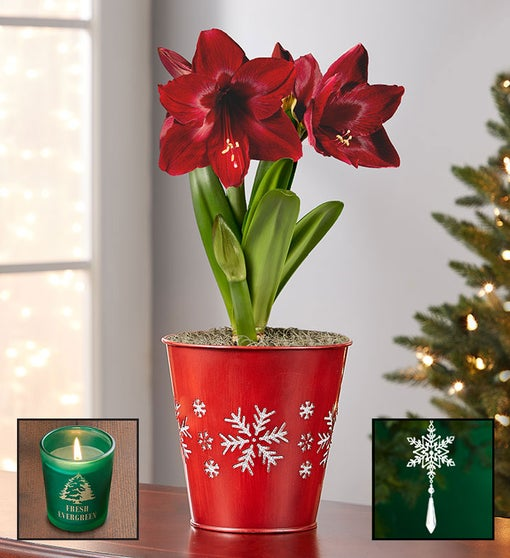 Shimmering Snowflake Amaryllis Bulb + Free Candle