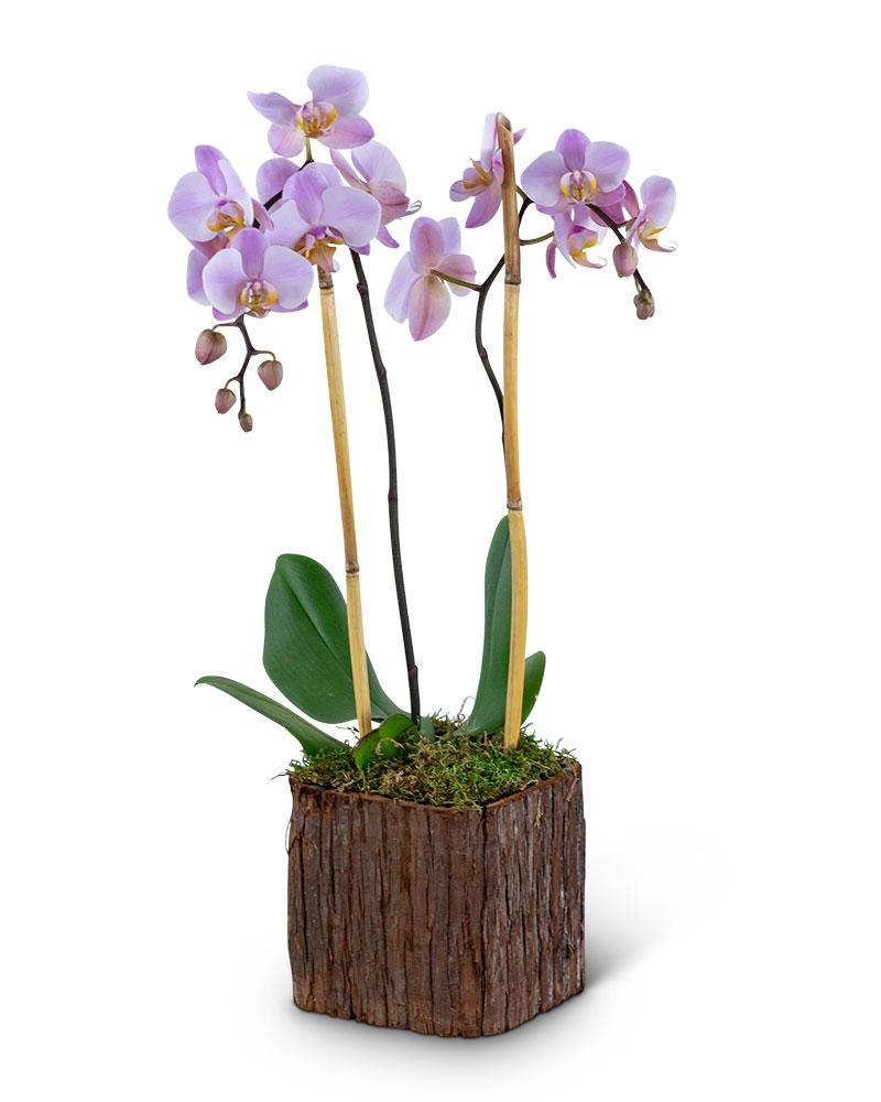 Stately Phalaenopsis Orchid