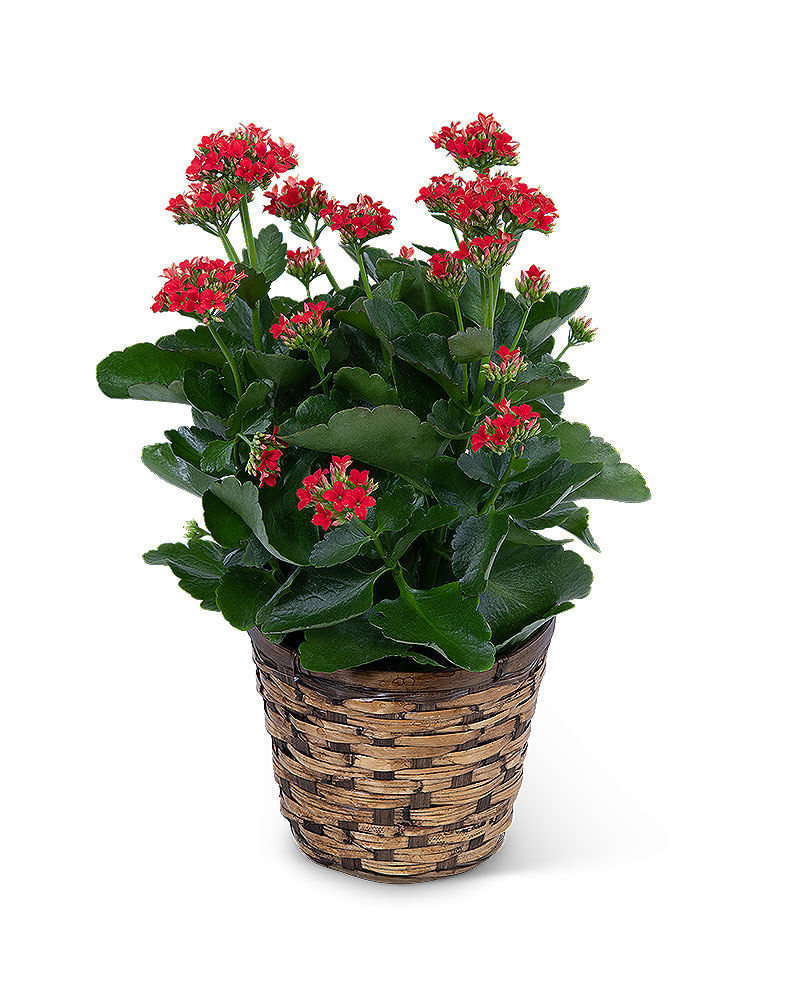 Red Kalanchoe Plant