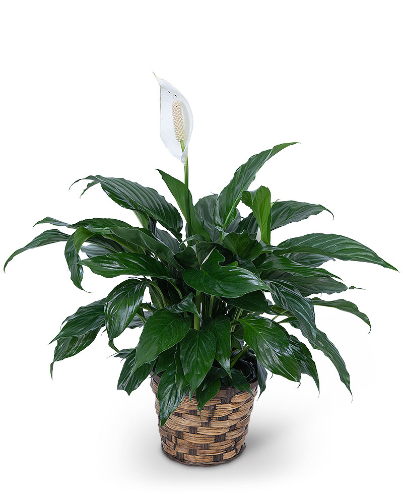 """Peace Lily Plant Table top 6"""""""