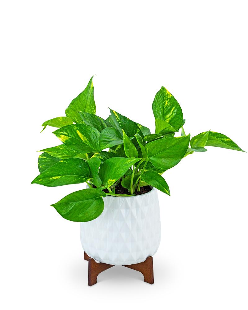 Mod Pothos Plant