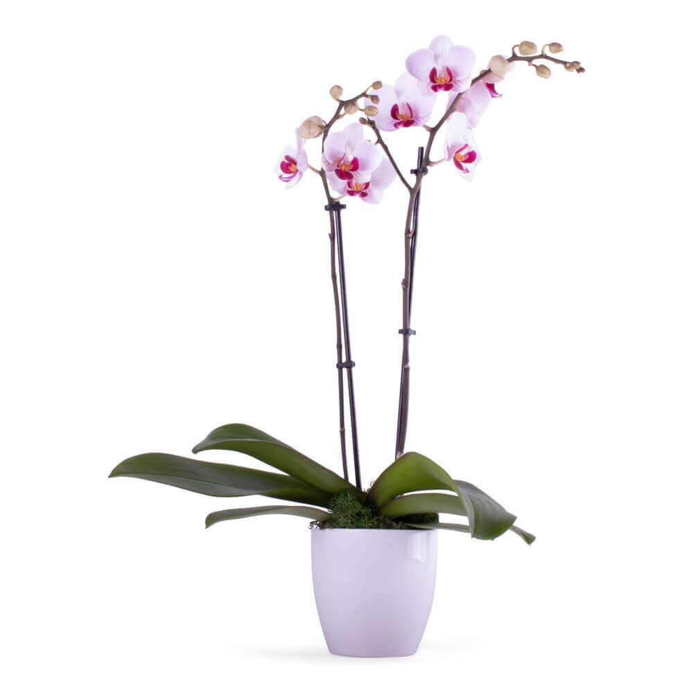 Elegant double stem Orchid plant